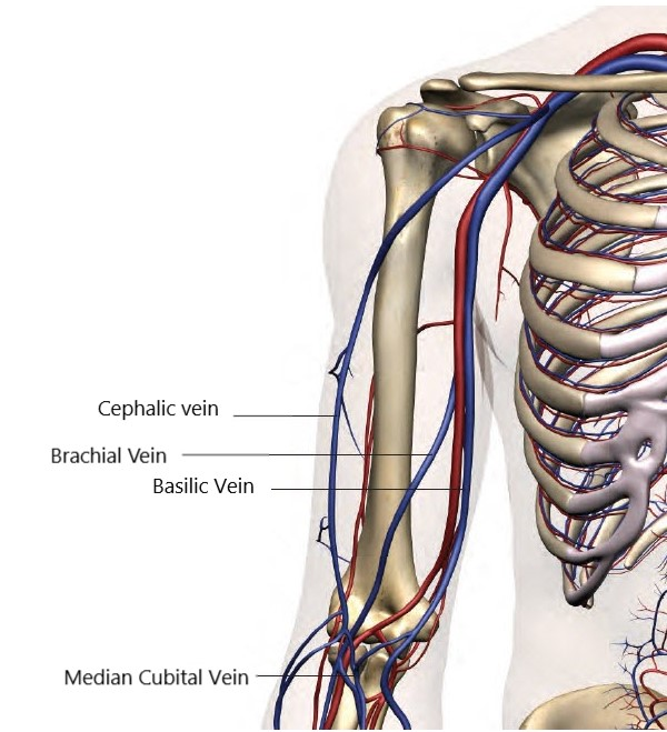 basilic, cephalic and brachial veins for picc placement