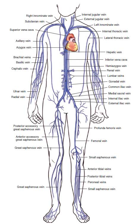 Overview of the veins of the upper and lower extremities. Various veins can be used to provide central venous access including the Internal Jugular Veins, Basilic and Brachial arm veins, subclavian veins, femoral veins and many others